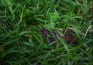 A baby turtle hides in the grass