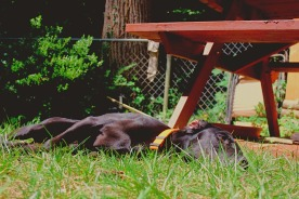 A dog sleeps in the grass