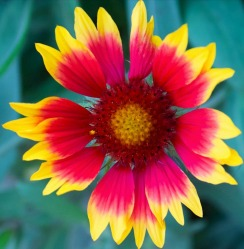 a red and yellow flower
